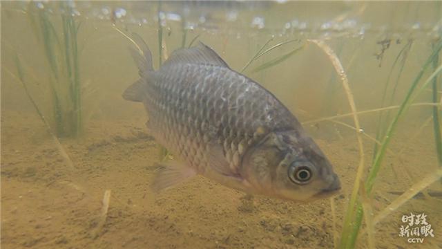 稻漁空間稻田裏的魚