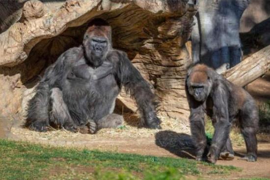 美國大猩猩也中招了!要給它們打新冠疫苗嗎?
